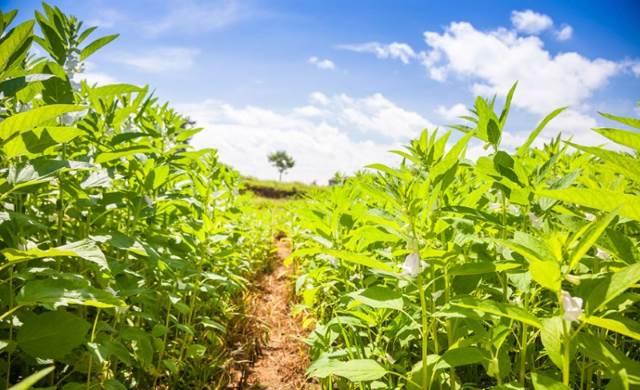 Плантация медовой травы
